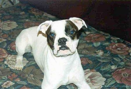Close up front view - A white with brindle Valley Bulldog that is laying across a floral print bed looking up and its head is tilted to the left. It has ears that fold down and out to the sides, dark eyes and a black nose and black lips.
