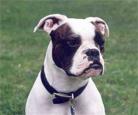 Close up head and upper body shot - A white with brindle Valley Bulldog is sitting in grass and it is looking to the right. It has a black nose and black lips and an underbite that pushes its bottom lip out farther than its top.