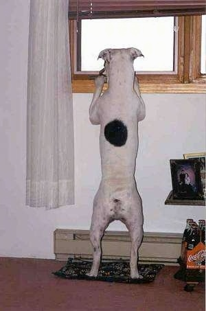 The back of a white with brindle Valley Bulldog that is standing on a carpet jumped up at a window sill looking out of a window.