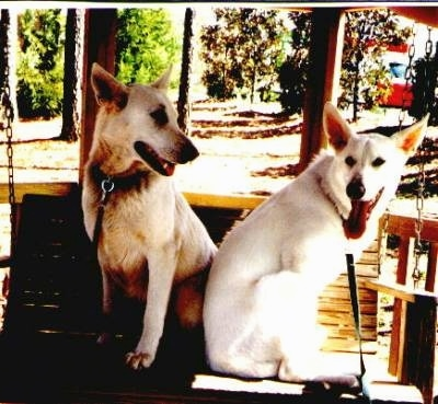Two American White Shepherds are sitting on a swing under a gazebo