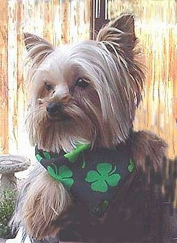 Close up - A black with tan and cream Yorkshire Terrier is sitting outside, it is looking to the left and it has a four leaf clover bandana on. It has perk ears and long hair hanging on the sides of its face, a black nose and dark eyes.