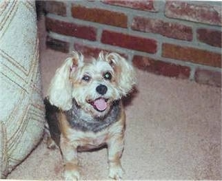 A black and tan Snorkie is sitting on a carpet next to a couch and behind it is a brick wall. It is looking up, its mouth is open and it looks like it is smiling.
