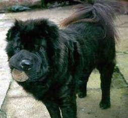 Front side view - A black Chinese Shar-Pei is standing on a concrete surface, she has a ball in her mouth and she is looking forward. The dog's tail is curled up over its back.