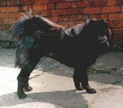The right side of a black Chinese Shar-Pei that is standing across a concrete surface in front of a brick wall and it is looking forward. Its front legs are shorter than its back legs and its tail is curled up over its back.