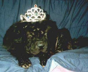 Front view - A black Chinese Shar-Pei dog is laying on a couch, it is looking forward, its eyes are closed and it is wearing a crown.