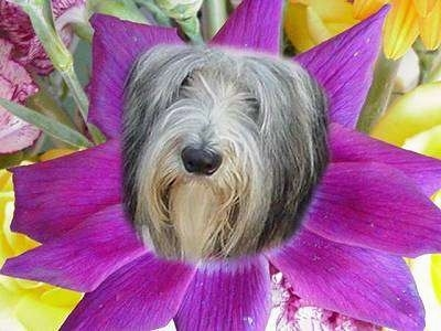Nellie Rose the Border Collies face photoshopped into a flower