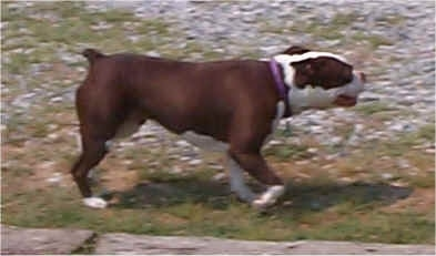 Right Profile - A brown with white Olde Boston Bulldogge is walking across grass and rocks. Its mouth is open.
