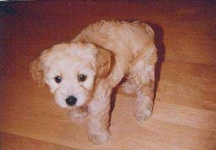 Sidney the tan Cockapoo puppy is walking on a hardwood floor