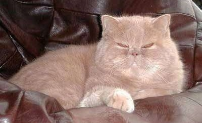Simba the Exotic Shorthaired Cat is laying in a leather beanbag chair with a face that looks like he is scowling at the camera