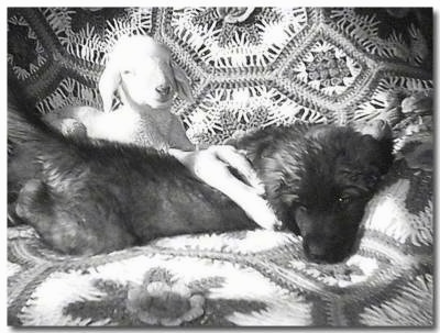 A Leonberger puppy is laying on a dog bed and there is a lamb behind it with its front legs over the side of the puppy. The puppy is larger than the lamb.
