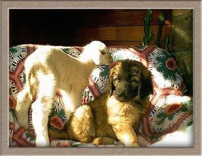 A Leonberger puppy is sitting on a dog bed covered in a white, green, red and pink flowered blanket next to a white baby lamb that is standing behind it and smelling its ear.