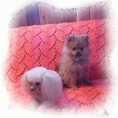 A white toy Poodle is laying on a pink couch next to a sitting tan Pomeranian.