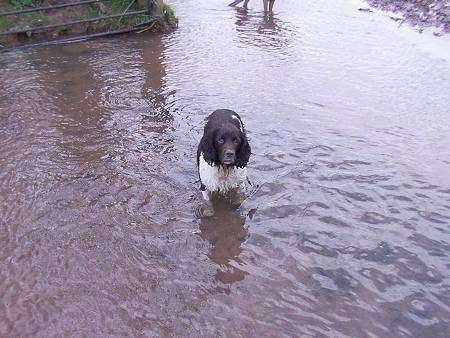 Shandy the English Springer Spaniel is all wet and standing in a body of water