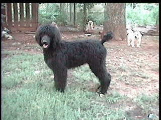 The left side of a black Standard Poodle dog standing in grass looking forward, its mouth is open and it looks like it is smiling.