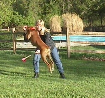 Allie the Boxer is jumping over a baton being held by her owner.