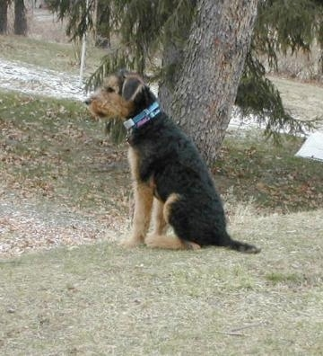 The left side of a black with tan Airedale Terrier dog sitting in grass with a tree behind it.