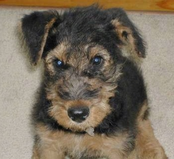 Close Up upper body shot - A wiry-looking, black with tan Airedale Terrier puppy is sitting on a carpet looking forward.