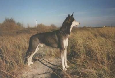 Lupus the Alaskan Husky standing on a rock in the middle of tall grass