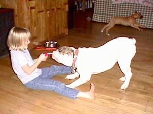 Amie playing tug-of-war with Spike the Bulldog and Allie the Boxer puppy is running in the background