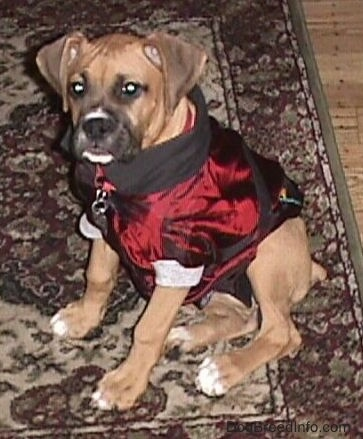 Allie the Boxer as a puppy wearing the same jacket