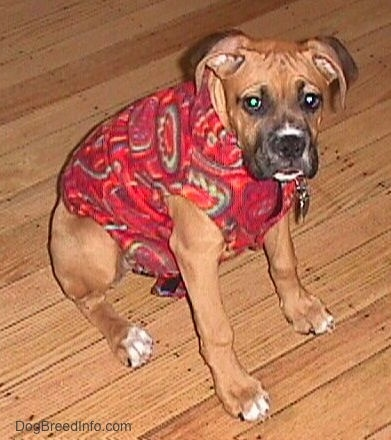 Allie the Boxer is wearing a red fleece coat and sitting on the hardwood floor