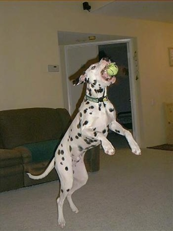 Casper the Dalmatian is jumping to catch a tennis ball in a house