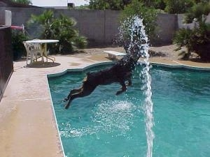Rottweiler is jumping into a pool trying to get the water that is spraying out of a hose into the pool