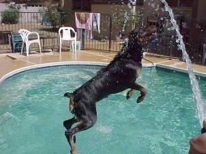 Rottweiler is jumping into a pool. There is a hose spraying water into the pool