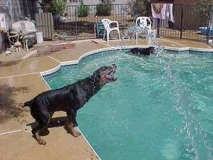 The hose is spraying the side of the pool, and the Rottweiler is getting in its mouth