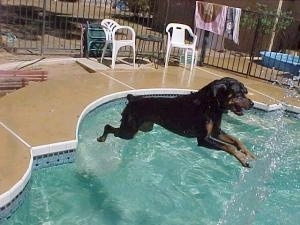 A Rottweiler is jumping into the water to get the hose spraying into the pool.