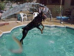 The Rottweiler is in mid-air jumping into a pool to get at the water spraying out of a water hose