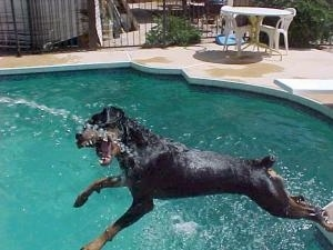 A Rottweiler is jumping off the side of a pool to bite at the water coming out of a hose