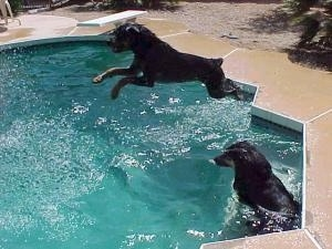The Rottweiler is jumping into a pool. There is another dog sitting in the water on the side of the pool