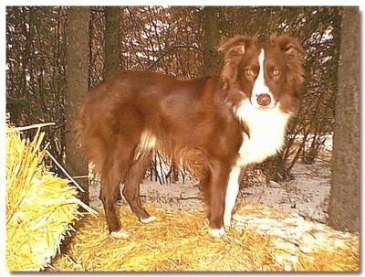 The right side of a red with white Australian Shepherd that is standing across a hay bale and it is looking forward.