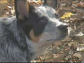 Close Up - The right side of the face of an Australian Cattle Dog that is standing outside on top of leaves and it is looking to the right.
