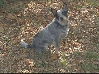 The right side of an Australian Cattle Dog that is sitting in leaves and it is looking forward.