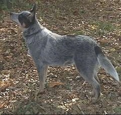 The left side of an Australian Cattle Dog that is standing across leaves and it is looking up