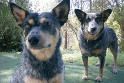One Australian Cattle Dog is sitting on a lawn and Another Australian Cattle Dog is standing on the lawn behind it.