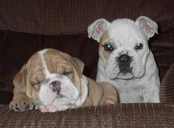 Nelly the Bulldog Puppy sleeping on a couch and Cisco the Bulldog Puppy is sitting next to it