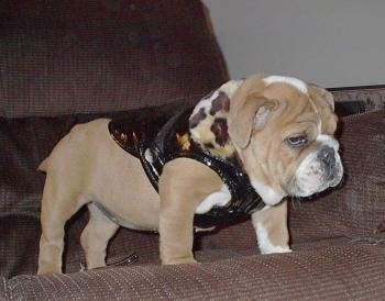 Nelly the Bulldog Puppy standing on a couch and wearing a leopard pleather jacket