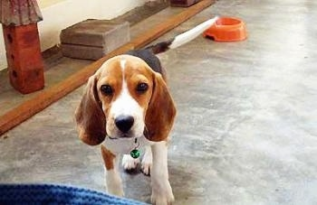 Beagle dog on training