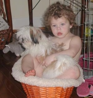A child is sitting in a wicker basket and there is a Shih-Tzu puppy laying across her lap.