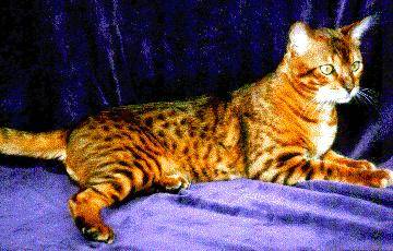 Wu Jen The Bengal Cat is laying across a purple backdrop