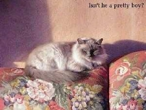 Gizmo the Birman Cat is laying on the back of a flower print couch