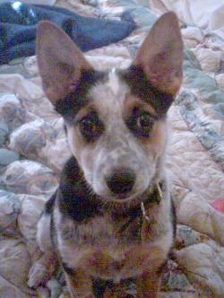 Australian Cattle Dog puppy sitting on a blanket