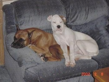 A brown Boxer is asleep on a couch and a white Boxer is laying on top of him