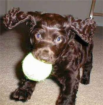 Close Up - Abi the Boykin Spaniel is jumping in the air with a toy ball in her mouth