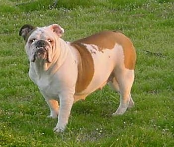 Rooby the English Bulldog standing outside in grass looking at the camera