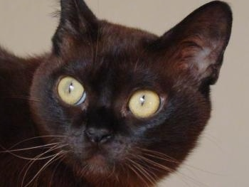 Close Up head shot - Black Burmese cat with large round yellow eyes looking to the left