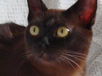 Close Up head shot - black Burmese cat with large round yellow eyes laying on a blanket on a couch and looking to the left